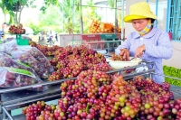 Visit Uncle Ba Moi's vineyard in Ninh Thuan