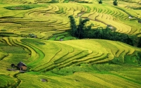 Mu Cang Chai, gold rice fields