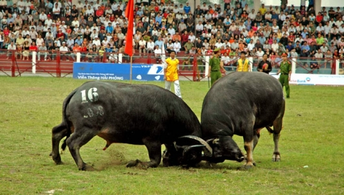 Do Son Buffalo Fighting Festival - Hai Phong City
