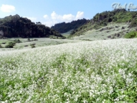 Fields of pristine white flowers in Moc Chau Plateau